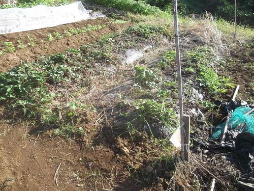 イチゴ苗の定植...小動物が喜ぶ!_b0137932_1544981.jpg