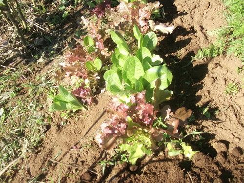 イチゴ苗の定植...小動物が喜ぶ!_b0137932_15462423.jpg