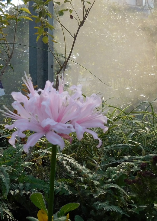 秋に輝く花・ダイヤモンドリリー_f0139333_19465725.jpg
