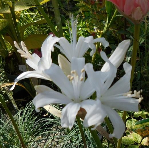 秋に輝く花・ダイヤモンドリリー_f0139333_19472516.jpg