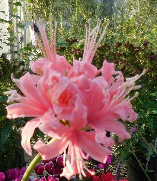 秋に輝く花・ダイヤモンドリリー_f0139333_19474672.jpg