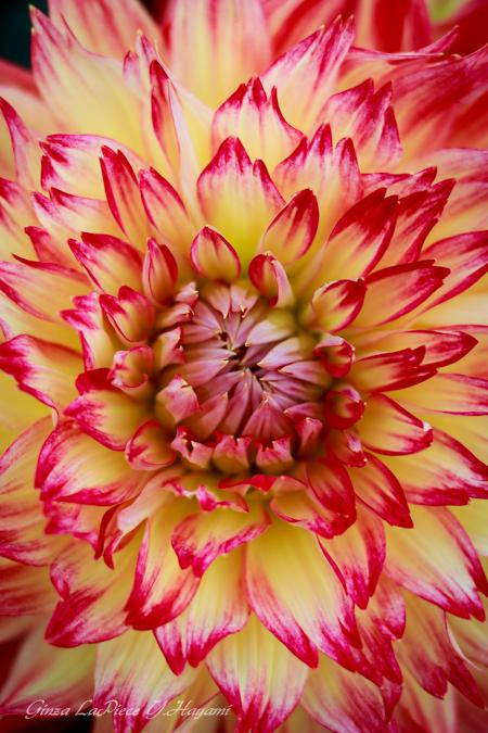 花のある風景 火の様なダリアの雰囲気_b0133053_0195363.jpg
