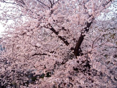裏のお寺の桜...伐採されてしまった。_d0244370_17280087.jpg