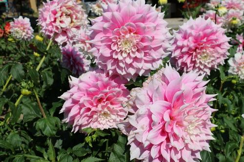 咲いてます! 川西ダリヤ園・・・102_c0075701_6585346.jpg
