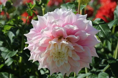 咲いてます! 川西ダリヤ園・・・102_c0075701_659155.jpg