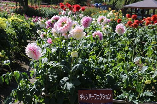 咲いてます! 川西ダリヤ園・・・102_c0075701_6592044.jpg