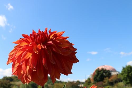 咲いてます! 川西ダリヤ園・・・102_c0075701_659304.jpg