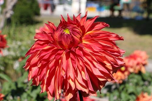 咲いてます! 川西ダリヤ園・・・102_c0075701_6593928.jpg