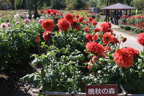 咲いてます! 川西ダリヤ園・・・102_c0075701_6595059.jpg