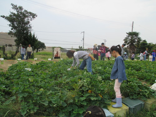 サツマイモがいっぱい採れました(^o^)_f0079749_830523.jpg