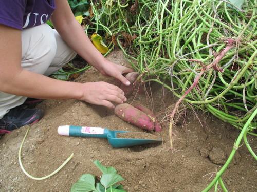 サツマイモがいっぱい採れました(^o^)_f0079749_8353811.jpg