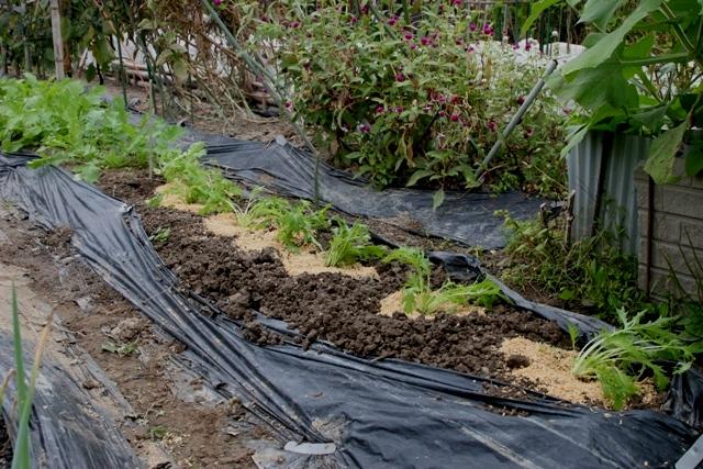 水菜・晩生の菜花 移植完了。_f0229190_20335260.jpg