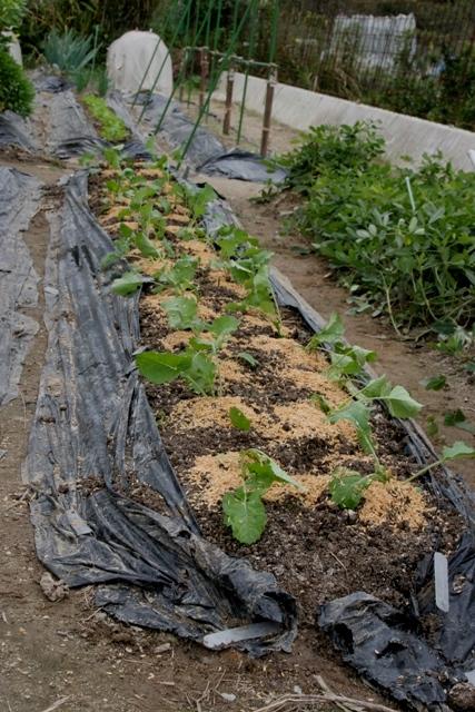 水菜・晩生の菜花 移植完了。_f0229190_2034161.jpg