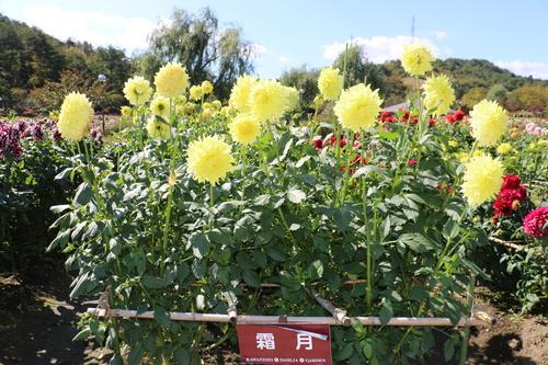 咲いている川西ダリヤ園・・・104_c0075701_6564457.jpg