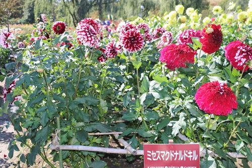 咲いている川西ダリヤ園・・・104_c0075701_656948.jpg