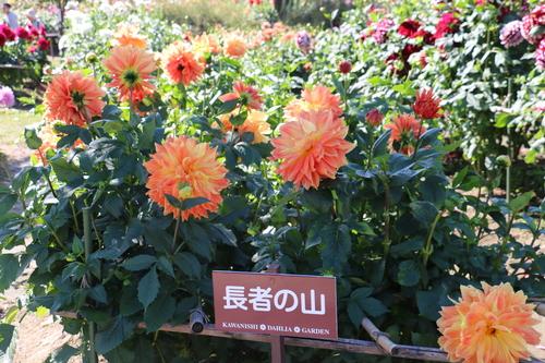 咲いている川西ダリヤ園・・・105_c0075701_735711.jpg