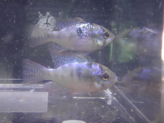 151015 熱帯魚・金魚・侘び草・水草・観葉植物_f0189122_13125246.jpg