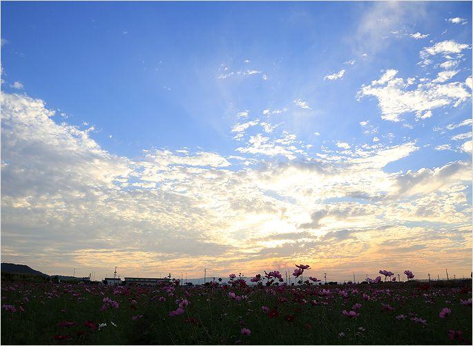 サンセット秋桜 ②_a0256349_1955227.jpg