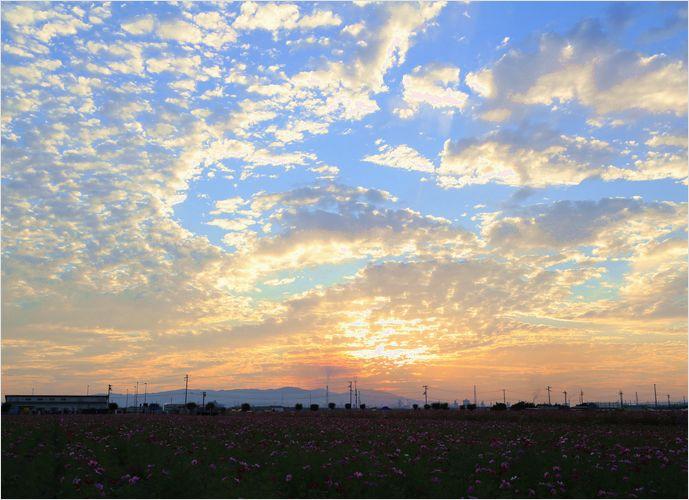 サンセット秋桜 ②_a0256349_19555783.jpg