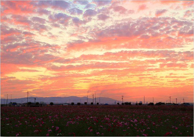 サンセット秋桜 ②_a0256349_19562529.jpg