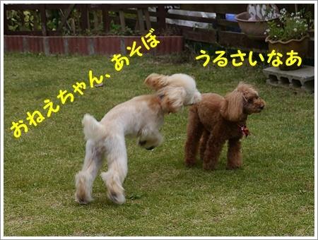 トリミング翌日、まだふわふわだね( *´艸`)クスクス_b0175688_20072478.jpg