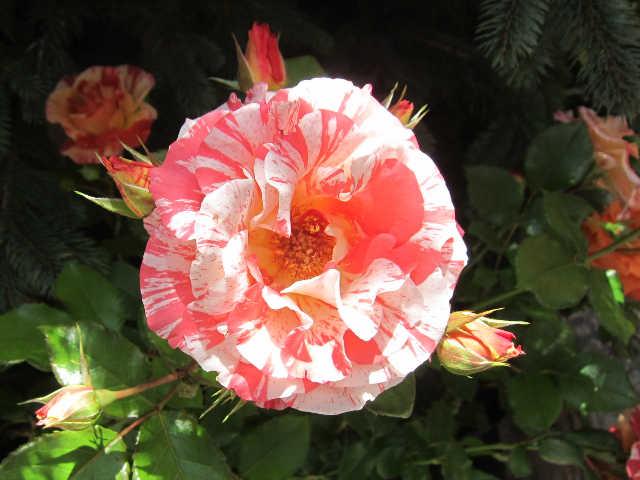 薔薇、薔薇、薔薇♪_d0339889_12070209.jpg