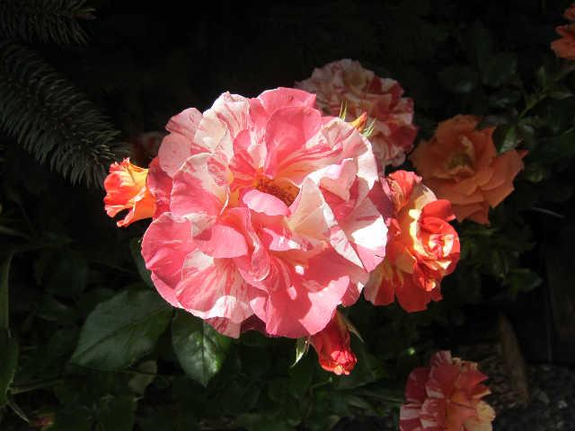 薔薇、薔薇、薔薇♪_d0339889_12070224.jpg