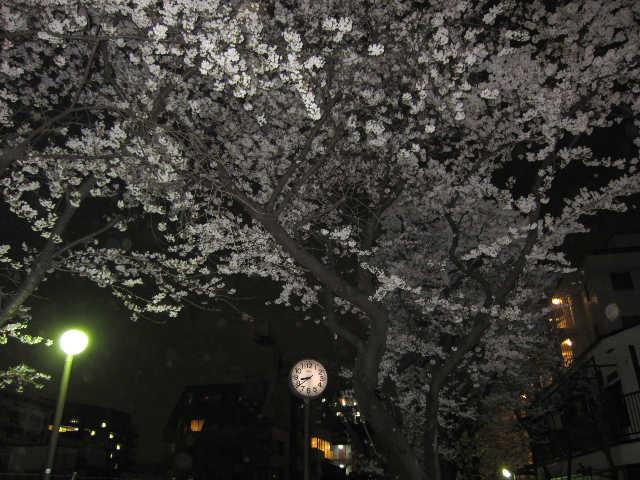 それでも桜は美しい_d0339889_12070985.jpg