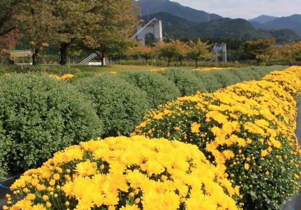 秦野戸川公園でざる菊が咲き始めたよ_c0171849_14242141.jpg