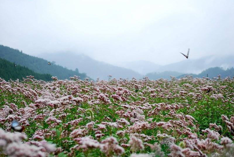 京都奥嵯峨 万葉の花・藤袴とアサギマダラ_b0165872_1315433.jpg