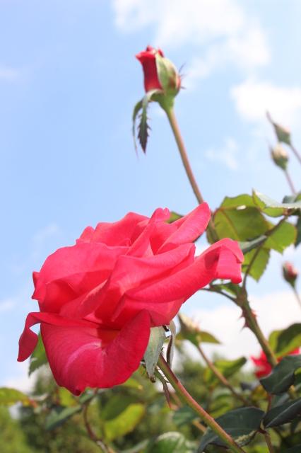 新宿御苑 バラ花壇をぶらり_a0180279_19164699.jpg