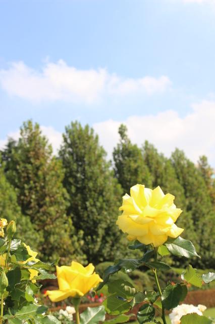 新宿御苑 バラ花壇をぶらり_a0180279_19182175.jpg