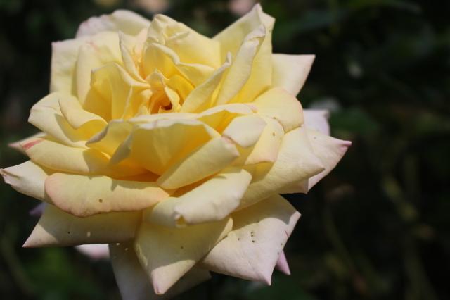新宿御苑 バラ花壇をぶらり_a0180279_19190432.jpg