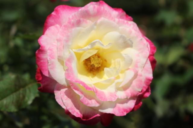 新宿御苑 バラ花壇をぶらり_a0180279_19204618.jpg