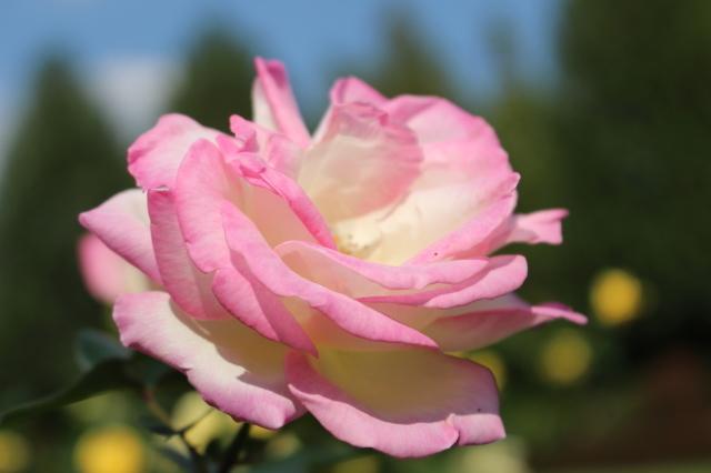新宿御苑 バラ花壇をぶらり_a0180279_19213782.jpg