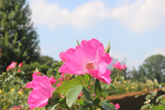 新宿御苑 バラ花壇をぶらり_a0180279_19222637.jpg
