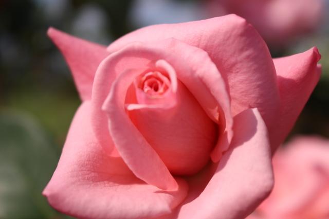 新宿御苑 バラ花壇をぶらり_a0180279_19240251.jpg