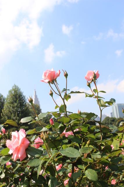 新宿御苑 バラ花壇をぶらり_a0180279_19245747.jpg