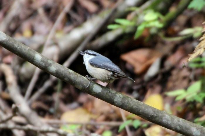 2015.10.18 冬鳥はまだでした・山中湖周辺・ゴジュウカラ他(The winter bird had not yet come.)_c0269342_20023221.jpeg