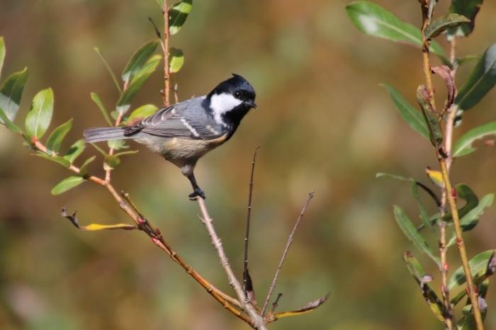 2015.10.18 冬鳥はまだでした・山中湖周辺・ゴジュウカラ他(The winter bird had not yet come.)_c0269342_20042476.jpeg