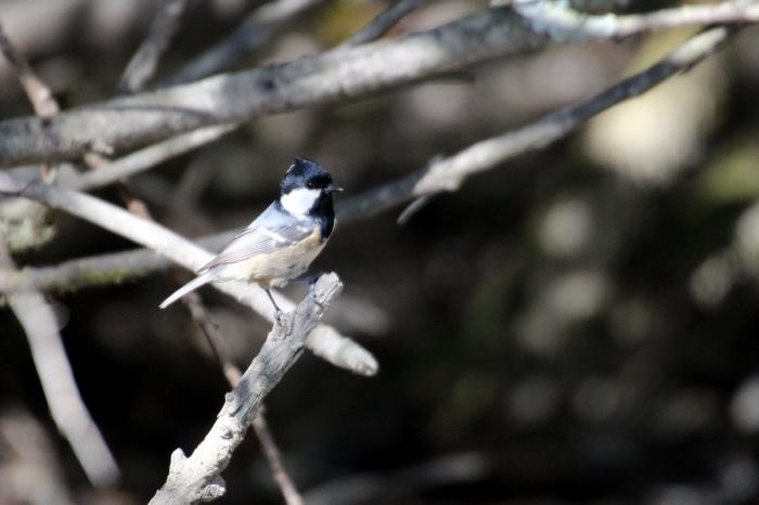 2015.10.18 冬鳥はまだでした・山中湖周辺・ゴジュウカラ他(The winter bird had not yet come.)_c0269342_20050993.jpeg