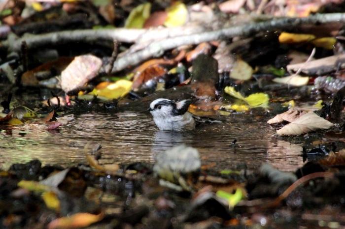 2015.10.18 冬鳥はまだでした・山中湖周辺・ゴジュウカラ他(The winter bird had not yet come.)_c0269342_20065576.jpeg