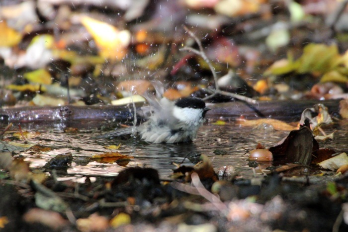 2015.10.18 冬鳥はまだでした・山中湖周辺・ゴジュウカラ他(The winter bird had not yet come.)_c0269342_20075420.jpeg