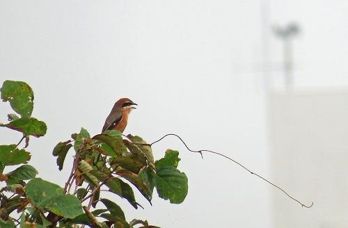 ★今年もヒクイナが飛来したそうです・・・先週末の鳥類園(2015.10.17~18)_e0046474_21103389.jpg