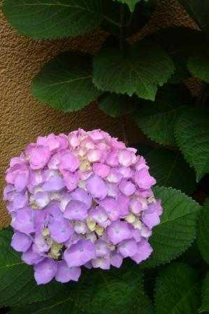 紫陽花_d0339677_11463707.jpg