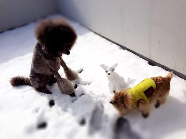 積雪27センチの朝:チワワの雪だるま_d0339885_13022968.jpg