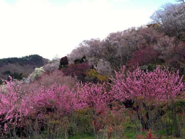 春の福島へ行ってきた(1):花見山・三春 滝桜で花見三昧♪_d0339885_13065513.jpg