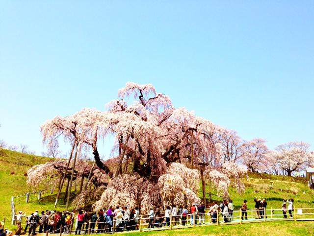 日本三大桜のひとつ_d0339885_13065801.jpg