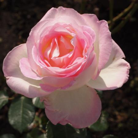 秋のバラ_a0292194_1648440.jpg