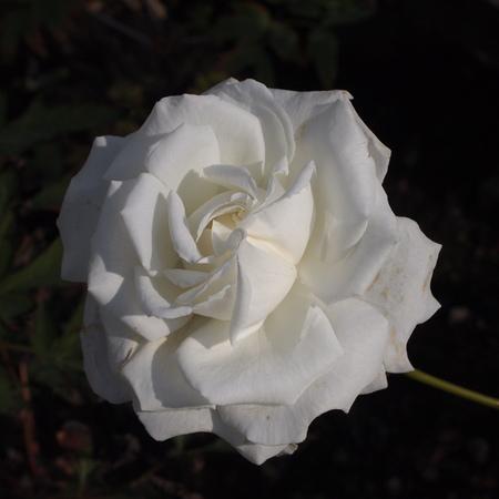 秋のバラ_a0292194_16503640.jpg